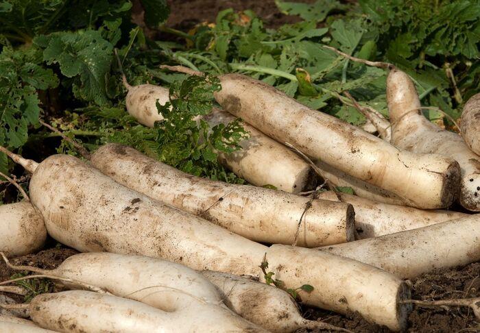 土付き大根の保存方法