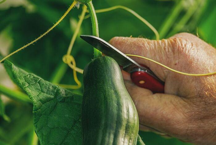 収穫されるきゅうり